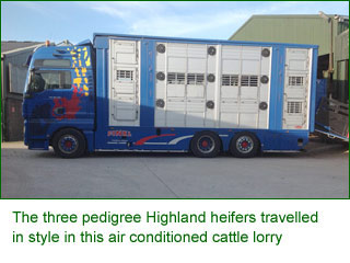 The three pedigree Highland heifers travelled in style in this air conditioned cattle lorry