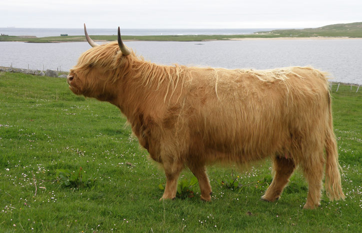 Highland Cattle - Pedi...