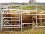 Highland heifers from Brue