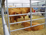 Highland cow from Laxay with her two calves