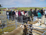 Sheep judging