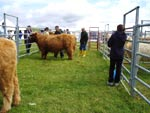 1st prize heifer over 16 months, Aingeal of Tom Buidhe