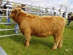 1st prize heifer under 16 months, Bella a' Ghlinne of Brue