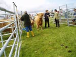 3rd prize Highland cow Caileag Bheag 17th of Callachally with her calf