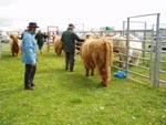 Judging of Highland heifer over 16 months