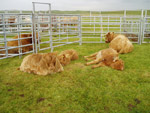 Brue calves having a res